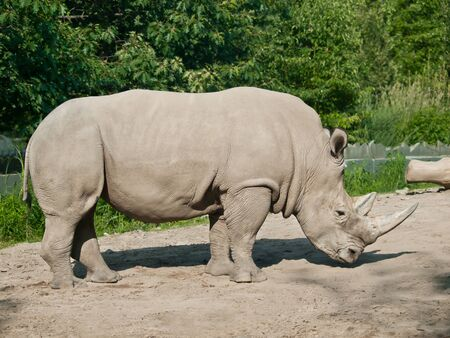 Big dangerous rhinoceros in the zoo of quebec photo