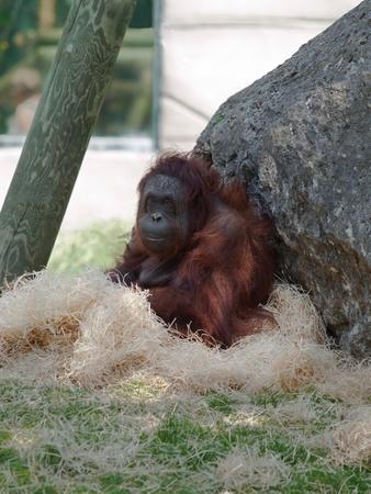 quietly: Female orangutan sitting quietly on hay in a zoo