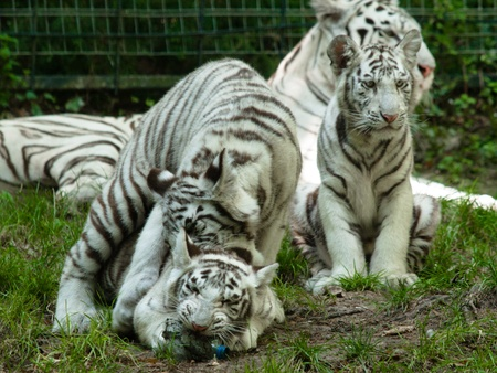 Baby siberian tiger playing togher with a plastic bottle at the zoo