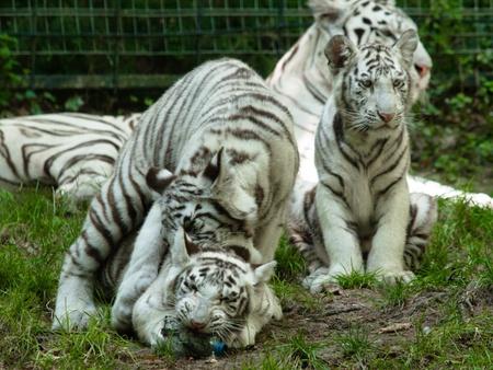 Bebé de tigre siberiano togher jugando con una botella de plástico en el zoológico Foto de archivo - 11278745