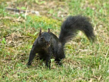 carolinensis: black squirrel in the grass Stock Photo