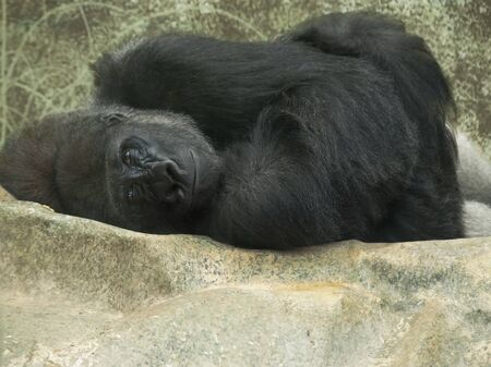 curledup: Curled-up lonely gorilla laying down