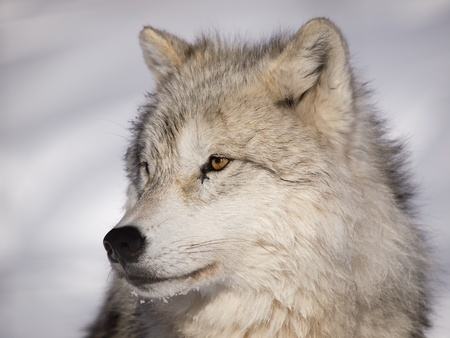 Alpha male arctic wolf watching in snow photo