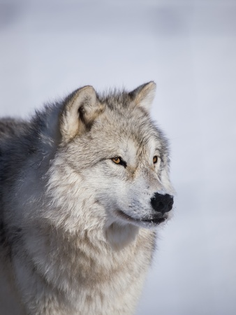 Alpha male arctic wolf watching in snow Banco de Imagens