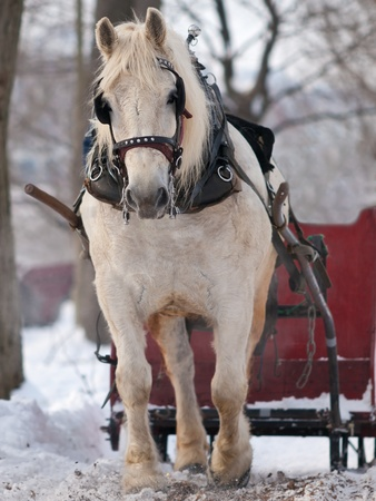 horse in snow: White horse pulling red sleigh in winter Stock Photo
