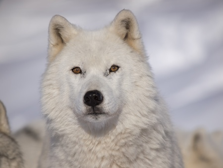 Alpha male arctic wolf watching in snow 版權商用圖片