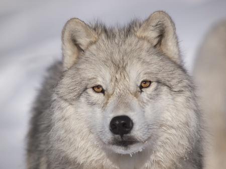 Macho alfa del lobo ártico viendo en la nieve Foto de archivo - 12507994