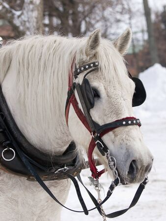 horse traction: Horse with hat pulling sleigh in winter Stock Photo