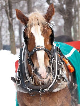 Horse with hat pulling sleigh in winter photo