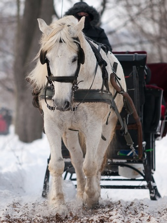 White horse pulling black sleigh in winter