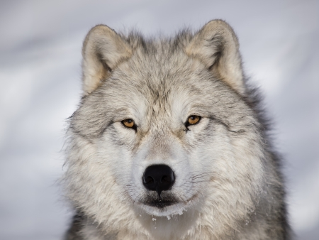 alpha: Alpha male arctic wolf watching in snow Stock Photo