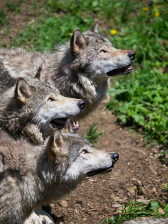 Grey wolves pack looking up for food in the woods Stock Photo