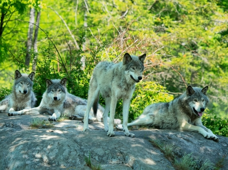 Grey wolves pack on a rock in summer
