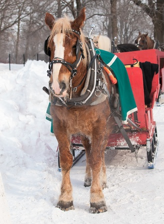 Brown horse and red sleigh in winter