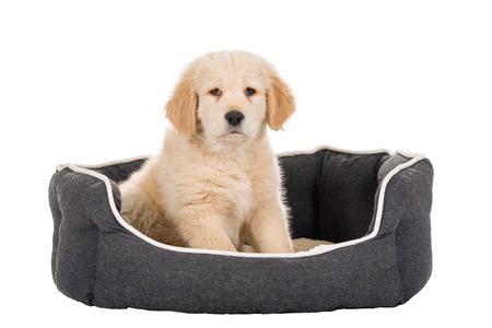 Golden Retriever puppy sitting in basket isolated on white background 版權商用圖片