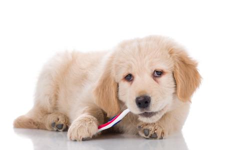 ゴールデン ・ リトリーバーの子犬横に彼の歯を磨く