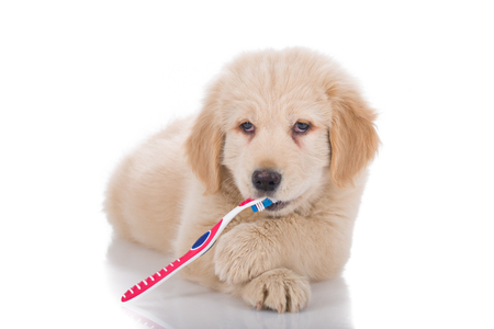 front view: Golden Retriever puppy brushing his teeth front view