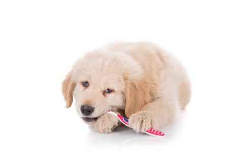 hygeine: Golden Retriever puppy brushing his teeth bitting front view
