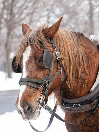 horse sleigh: Brown horse ready for sleigh ride close-up