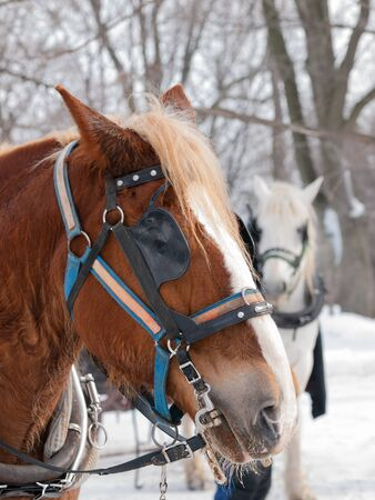 horse sleigh: Brown horse ready for sleigh ride close-up profile Stock Photo