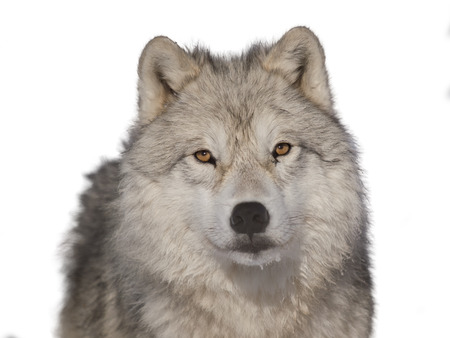 Arctic wolf male head-shoot over white background