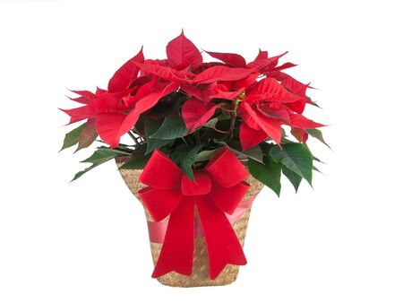 tradional: Red poinsettia Christmas plant with bow isolated on white background