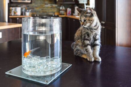looking at baby: Brown Marble Tabby kitten watching goldfish on kitchen table