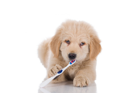 Golden retriever puppy with strabismus brushing his teeth looking straight isolated on white background 版權商用圖片 - 47104957
