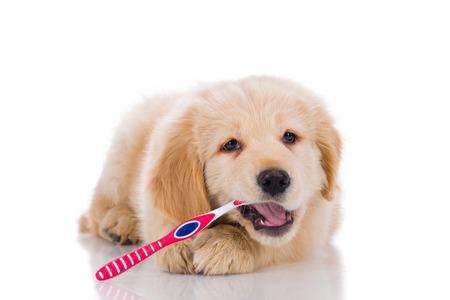 Golden retriever puppy zijn tanden poetsen keek recht op een witte achtergrond