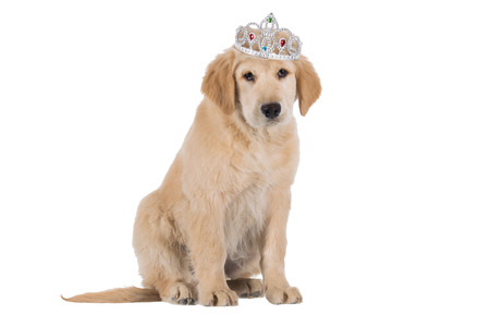 stitting: Golden Retriever puppy stitting with crown isolated on white background Stock Photo