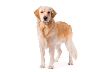 Golden Retriever adult standing serious  isolated on white background 版權商用圖片