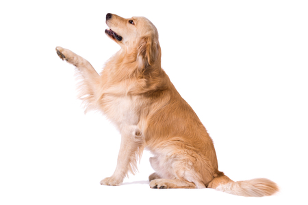 Purebred Golden Retriever giving paw isolated on white background