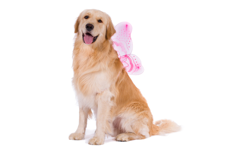 Golden Retriever with butterfly wings isolated on white background 版權商用圖片