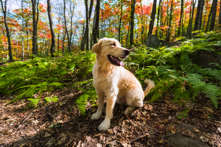 Golden Retriever sitting in red fall forest