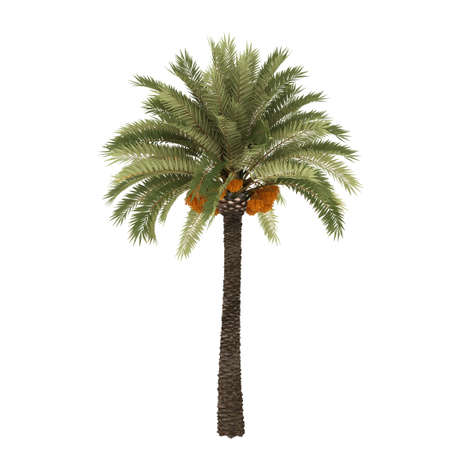 dactylifera: Palm tree isolated on white background with clipping path