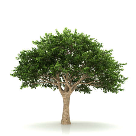 huge tree: Tree isolated on a white background