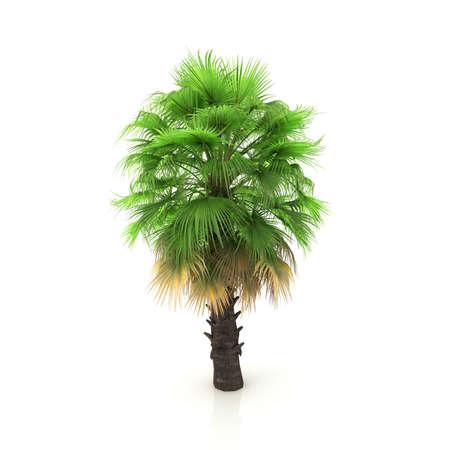 dactylifera: Palm tree isolated on white background
