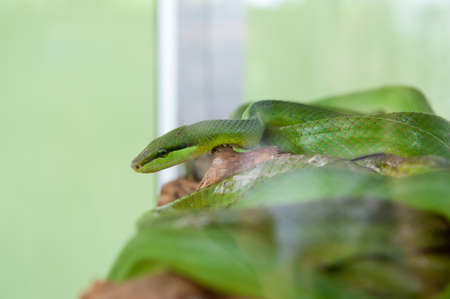 Group of water snakes and their common name are water snakes, Indo-Australian water snakes, mud snakes, bockadam, ular air, and all are mildly venomous.