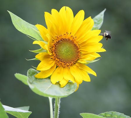 Sunflower in bloom with bee approaching