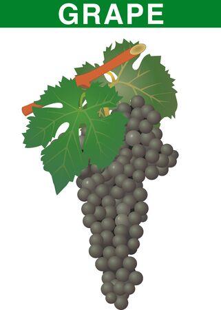 vector grape fruit Vector