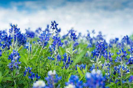 블루 보 닛 필드에 꽃입니다. 2 개의 줄기에 집중