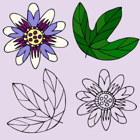 Hand-drawn passion flower and leaf. Color and outline version of vector illustration. Flower element