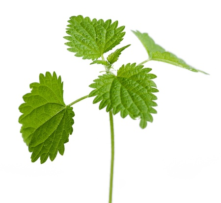 stinking: Urtica Dioica, stinking nettle plant leaves