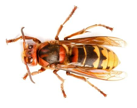 European hornet Vespa crabro on white Stockfoto