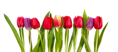 Row of colorful tulips isolated on white Stockfoto
