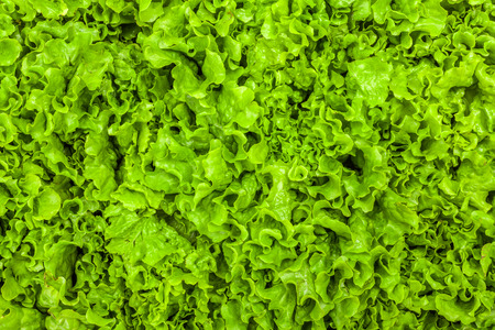 Fresh green leaf lettuce texture - top view of the leaves Imagens