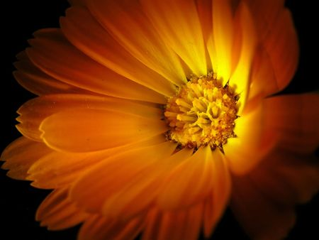 marigold: Marigold isolated on black