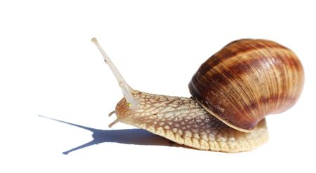 slithering: Snail isolated on white Stock Photo