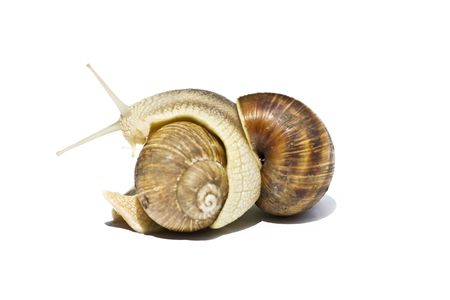 slithery: Snails isolated on white