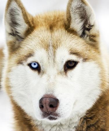 siberian husky: Siberian Husky in the Snow